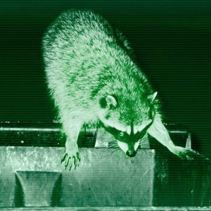 Night Vision Raccoon